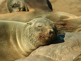 galapagos sea lion sleeping on a rock with other sea lions