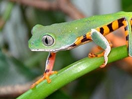 ecuador rainforest frog with great green and orange camouflage