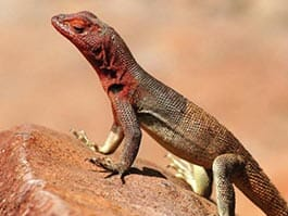 thumb - Adult lava lizard with red throat coloring sits on a rock at the Galapagos islands