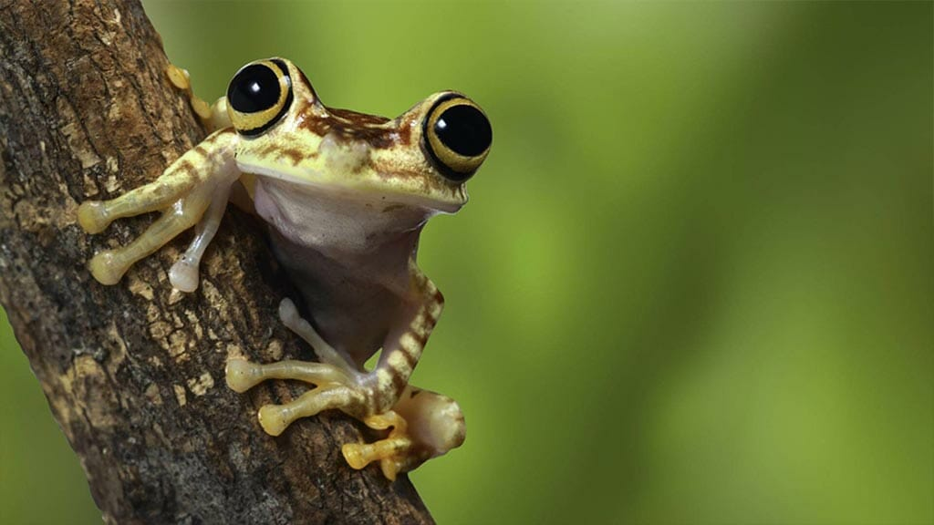 cute wide eyed jungle frog clinging to a branch in ecuador