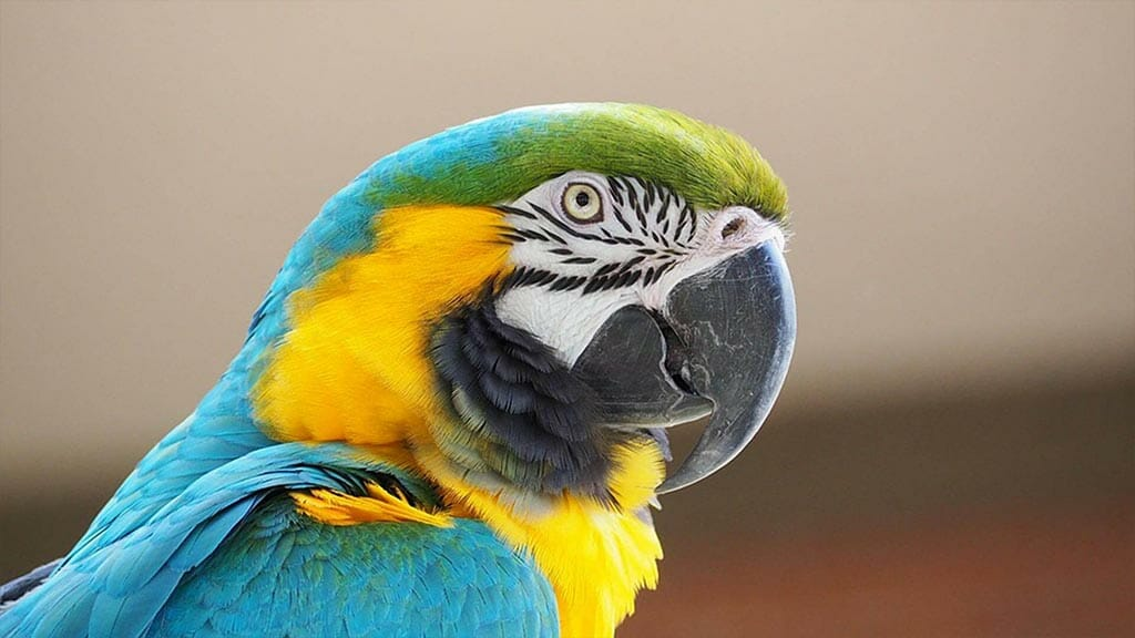 blue and yellow macaw bird in ecuador amazon rainforest
