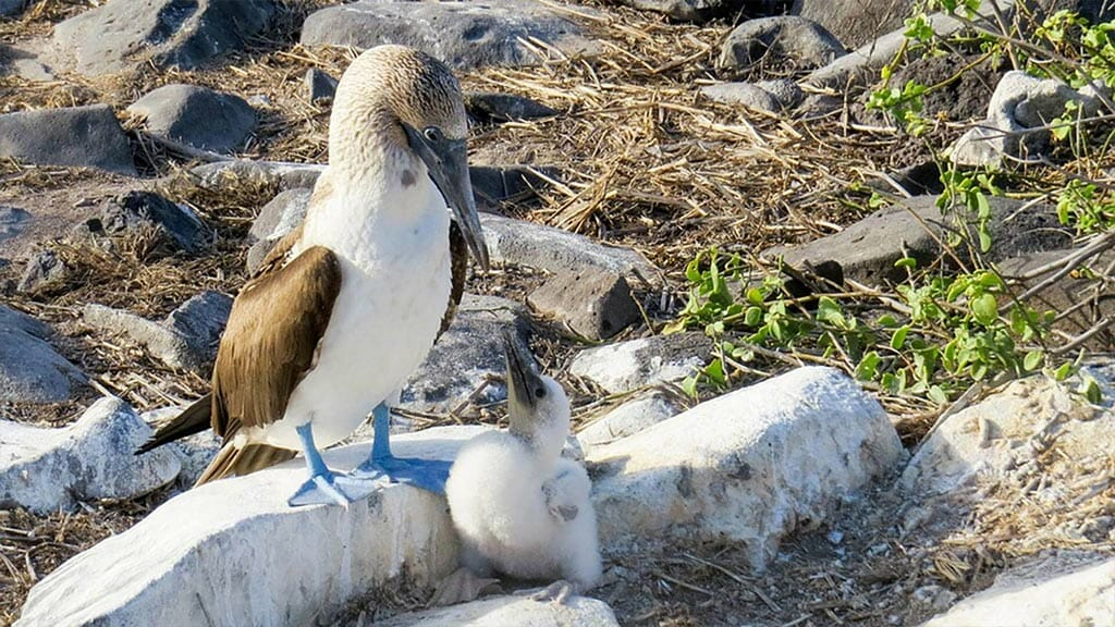 Galapagos blue footed booby mother protects her white fluffy chick in the nest on espanola island