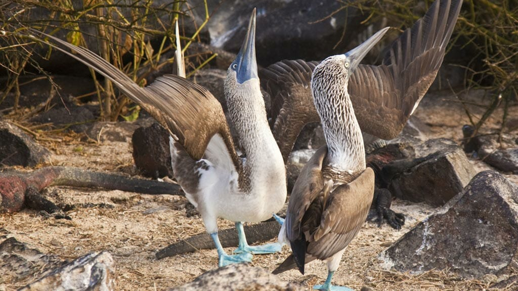 Galapagos blue footed booby courtship dance - beak sky pointing and showing off blue feet to attract a female