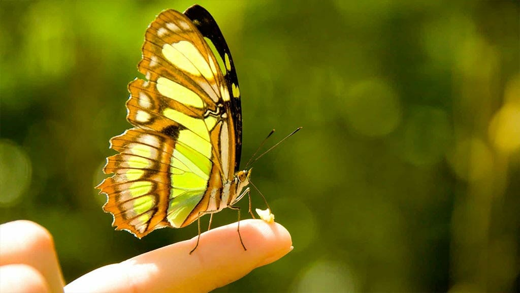 mindo butterfly eating banana on a tourists finger