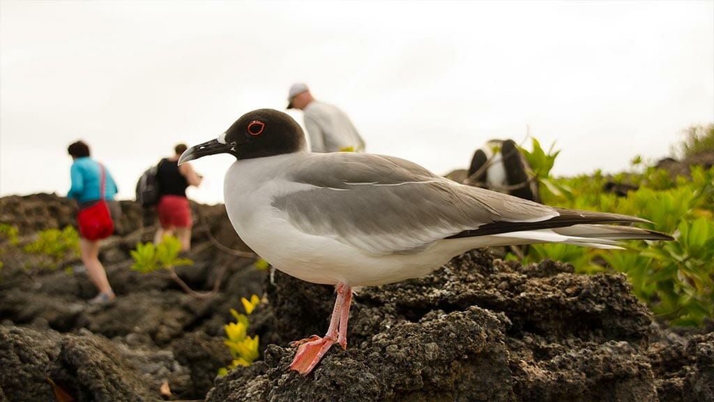 swallow tailed gull at the galapagos islands