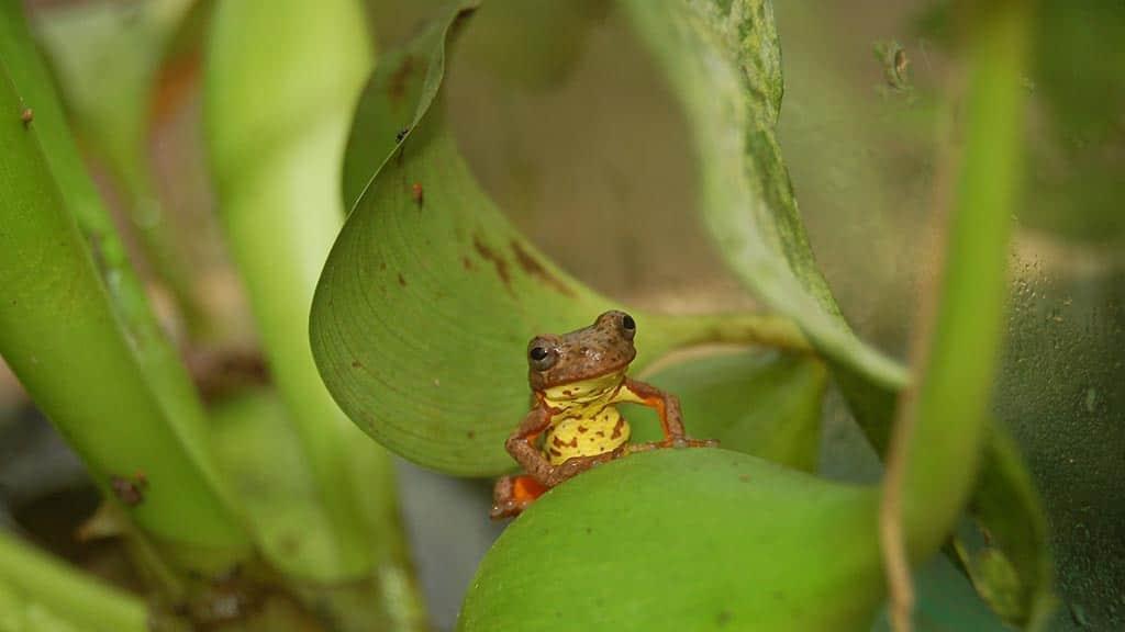 cute yellow frog at mindo ecuador