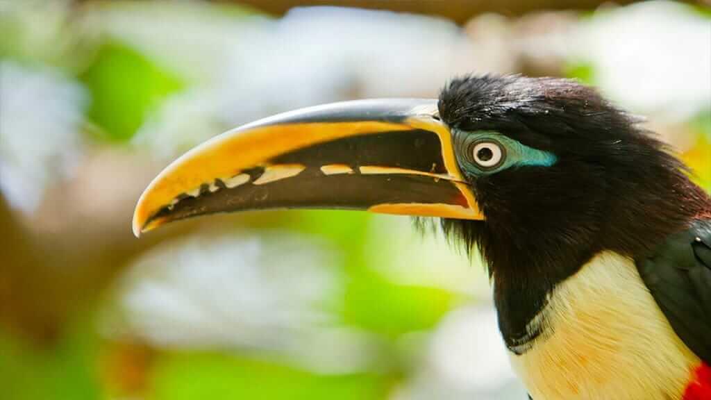 cloud forest toucan bird on mindo tour
