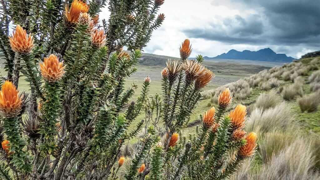 chuquiagua flower on the paramo of cotopaxi national park ecuador