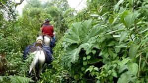 ecuador cloudforest horseback riding in dense vegetation