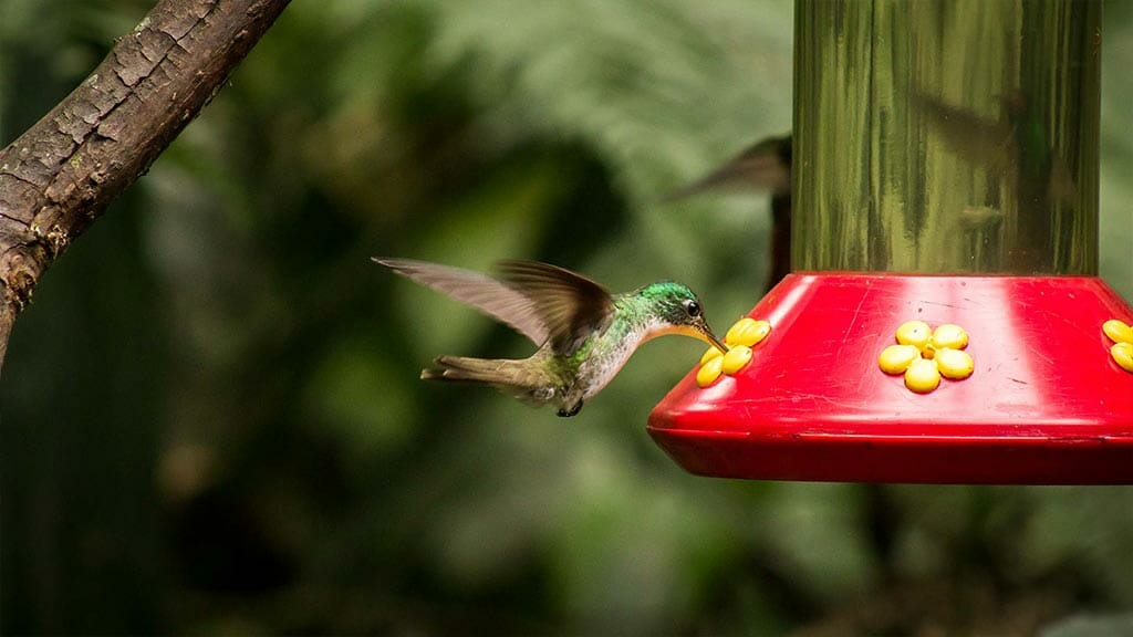 hummingbird drinking from a lodge feeder in the cloud forest ecuador