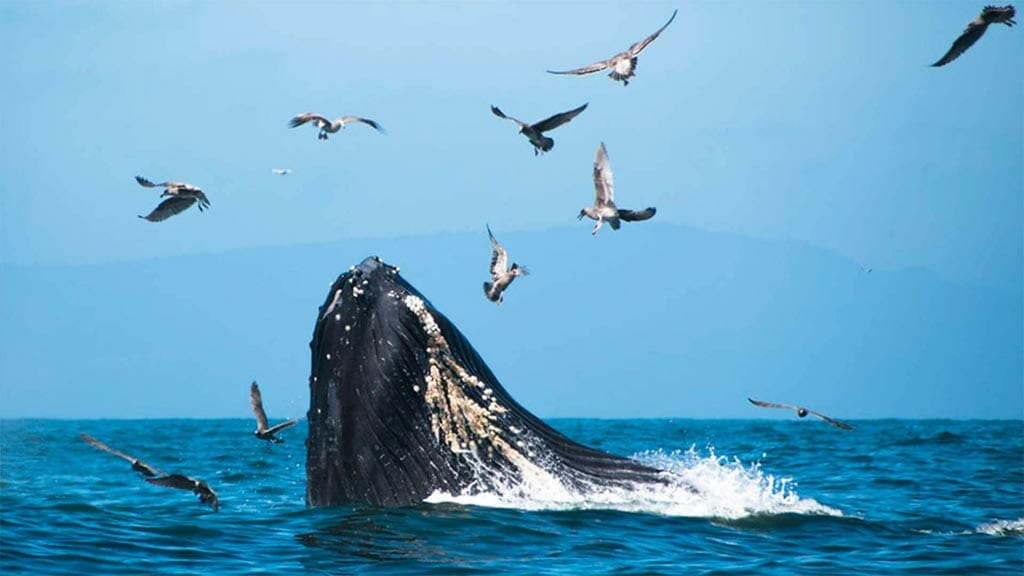 Ecuador whale watching - a humpback surfaces as gulls fly overhead