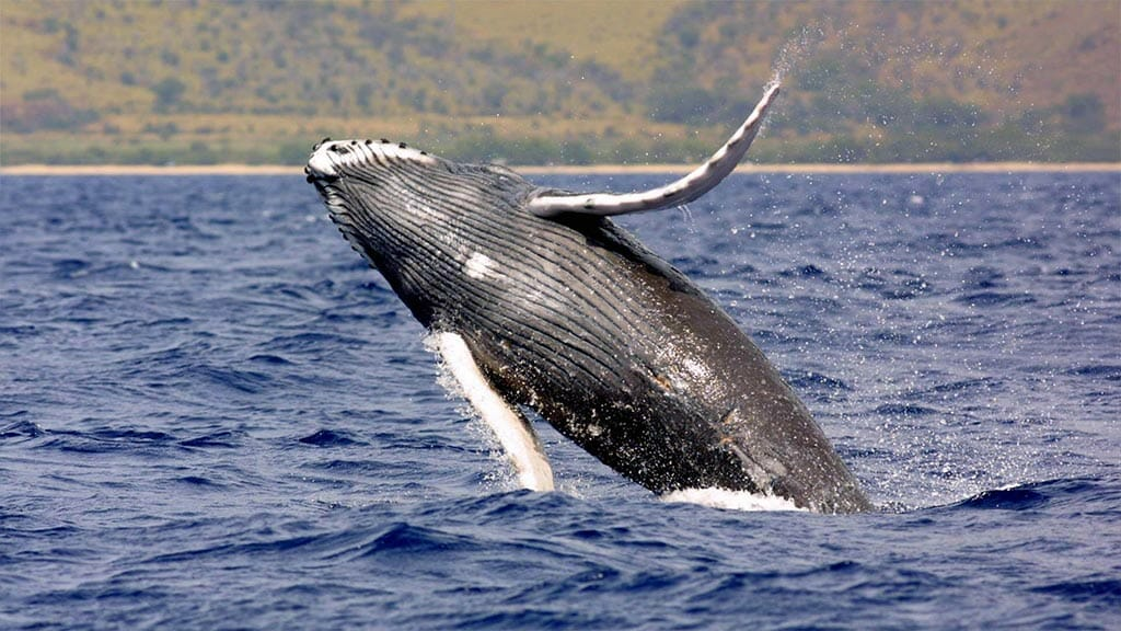 Humpback whale breaching the surface at puerto lopez ecuador