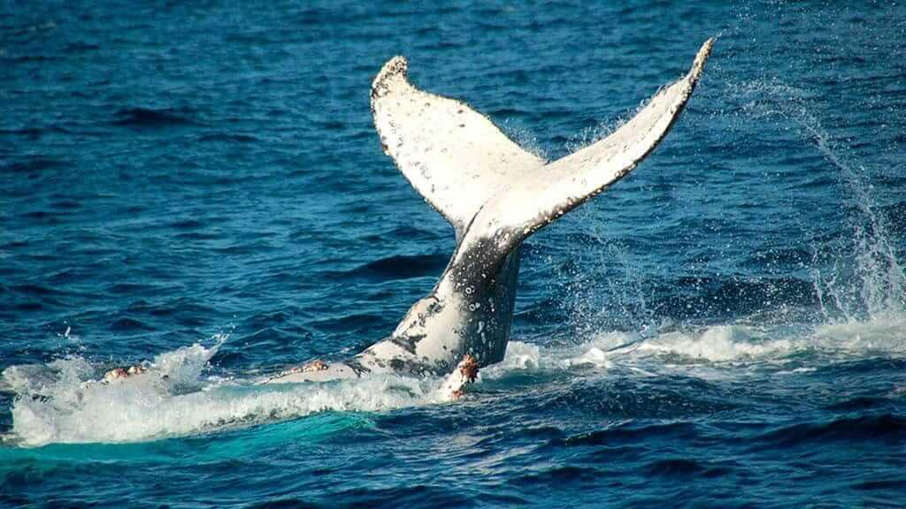 Humpback whale fluke as he dives at Machalilla Park puerto lopez ecuador