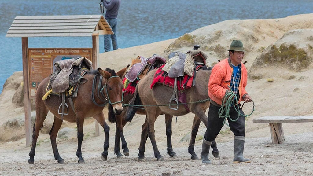 indian man leading mules at quilotoa lagoon