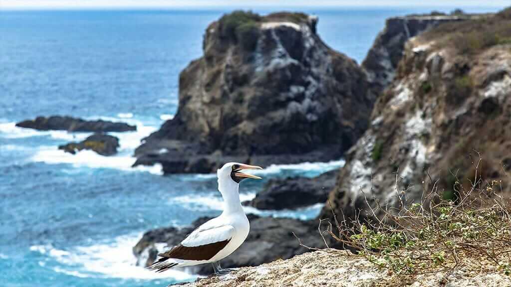Galapagos nazca booby bird on the cliffs with ocean backdrop
