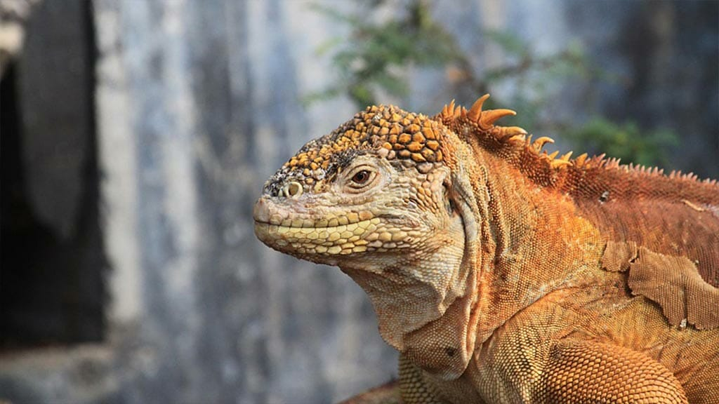 orange-land-iguana-at-the-galapagos-islands