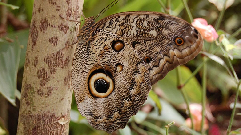owl eye butterfly at mindo butterfly house ecuador