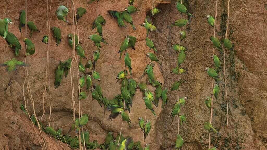 hundreds of green parrots at the yasuni parrot clay lick ecuador amazon