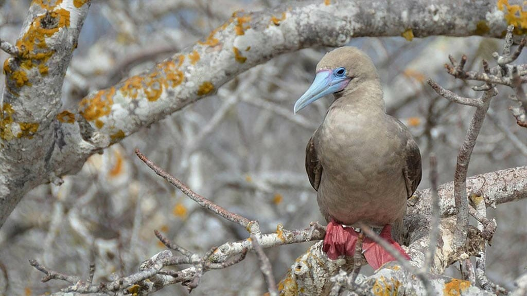 red footed booby nesting in tree on Genovesa island at Galapagos