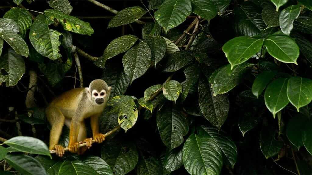 a curious spider monkey in ecuador's amazon jungle