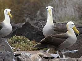 thumb 3 galapagos waved albatross nesting on espanola island