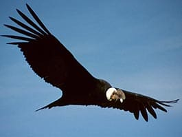 andean condor ecuador - a black adult condor glides through the air with blue sky