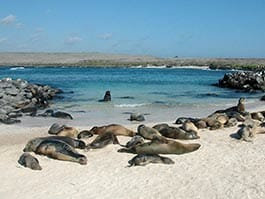 espanola island galapagos - sea lions sleep on a white sand beach