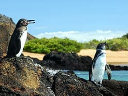 thumb - two galapagos penguins perched on a lava rock at the galapagos islands