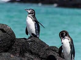 thumb galapagos in september - galapagos penguin courtship begins