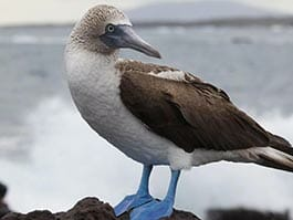 thumb galapagos in april - blue-footed booby courtship begins
