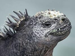 thumb galapagos in january - marine iguanas change color to attract a mate