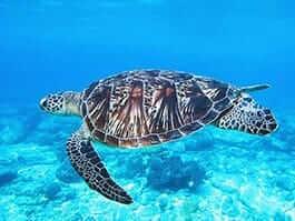 thumb galapagos islands in july - green sea turtle swimming