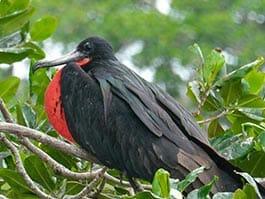 thumb galapagos islands archipelago-in-may-frigate-birds-lay-eggs