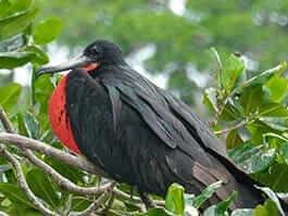 thumb galapagos islands archipelago-in-may-frigate-birds-lay-eggs