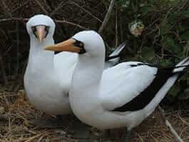 thumb galapagos in november - galapagos nazca booby chicks hatch