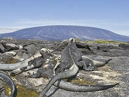 Colony of black marine iguanas on Fernandina island with La Cumbre volcano backdrop