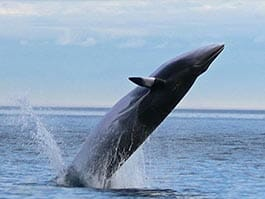 thumb minke whale jumping in galapagos islands