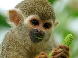 thumb-squirrel-monkeys-amazon-rainforest in ecuador