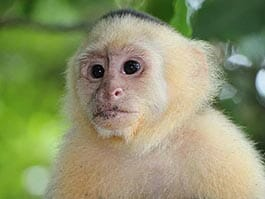 thumb Ecuador monkeys - A White headed Capuchin monkey poses for a portrait