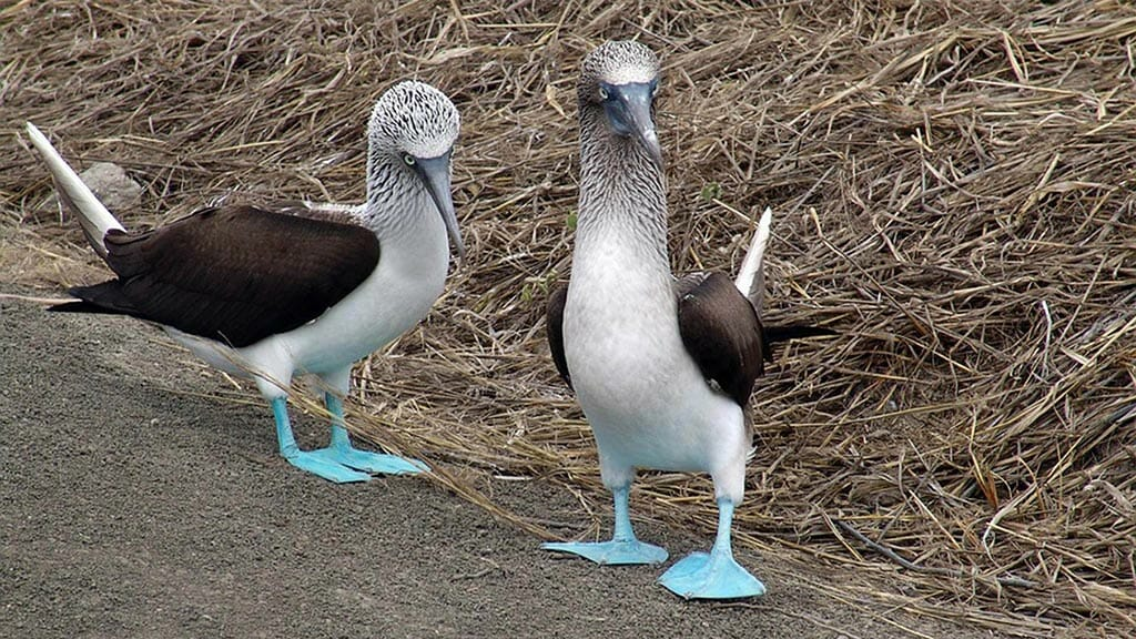 blue footed booby couple standing together at the galapagos islands