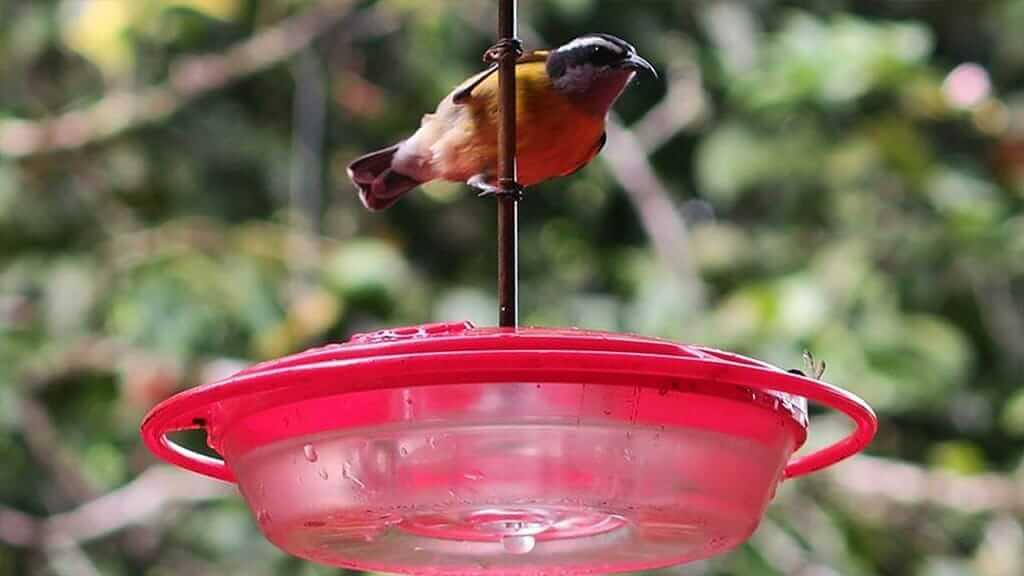 banana quit bird on feeder at mindo ecuador