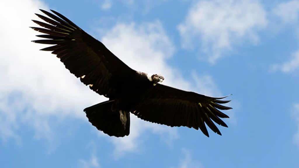 andean condor bird ecuador