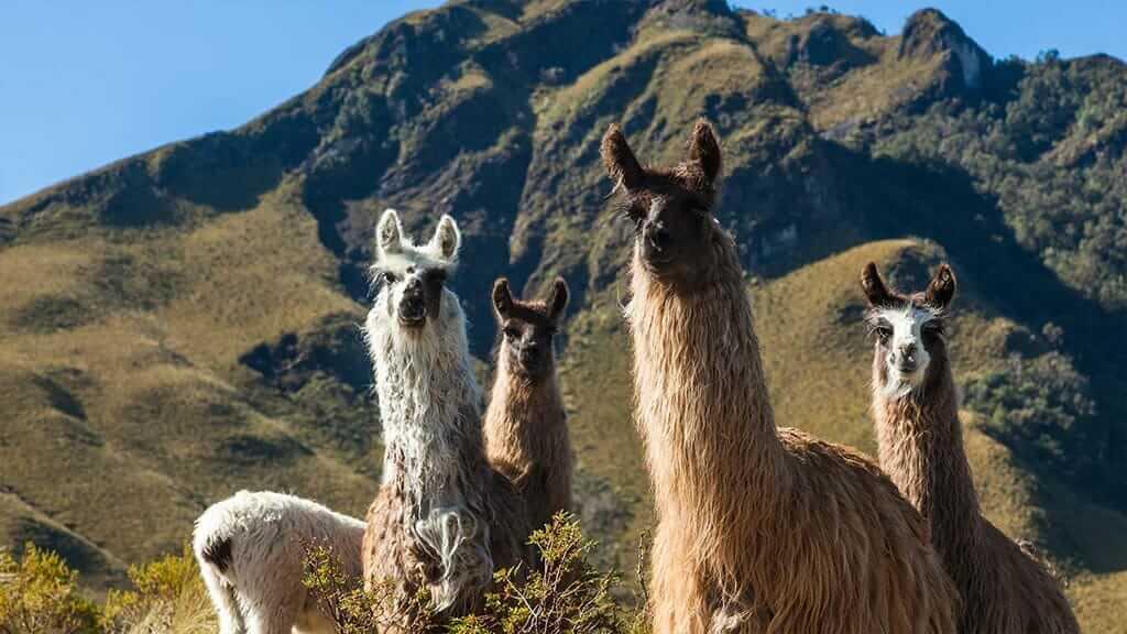 wild llamas at pasochoa volcano ecuador