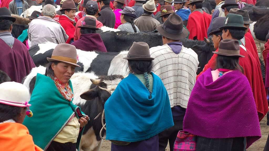 cows for sale at indigenous guamote market ecuador