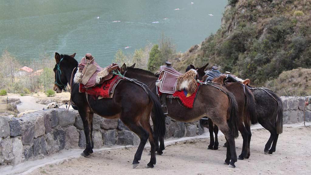 quilotoa mules ecuador