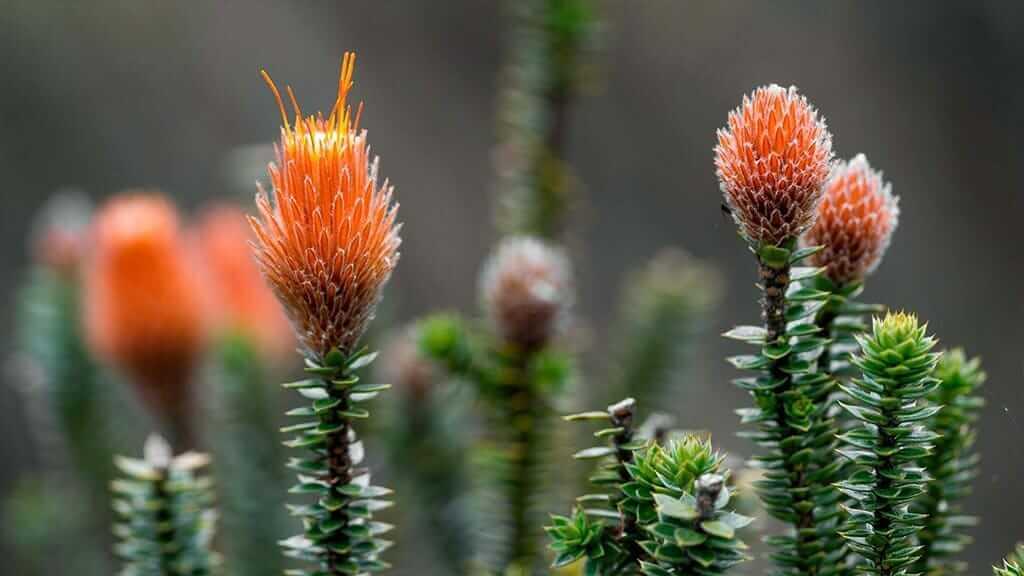chuquirawa plant and flowers ecuador