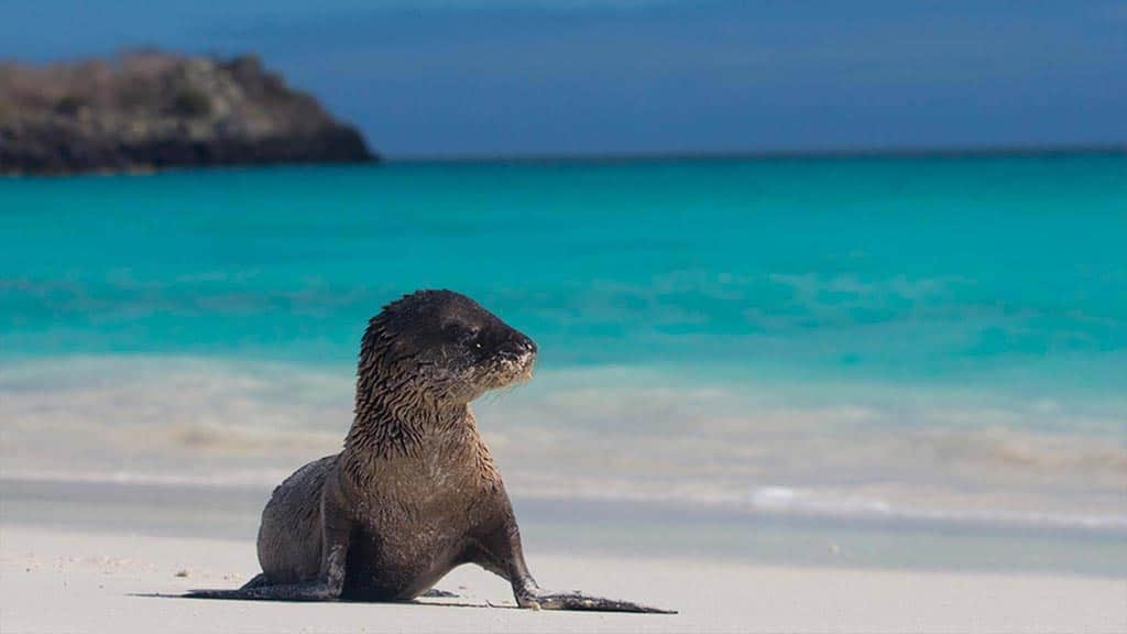 cute Galapagos sea lion sitting alone on a white sand beach with turquoise waters