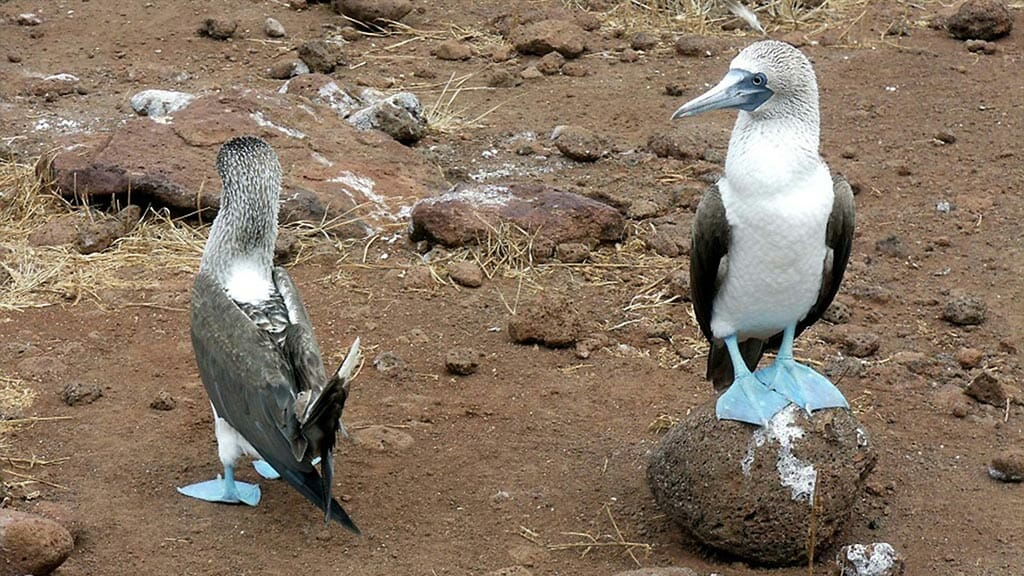 two blue footed boobies nest at the galapagos islands