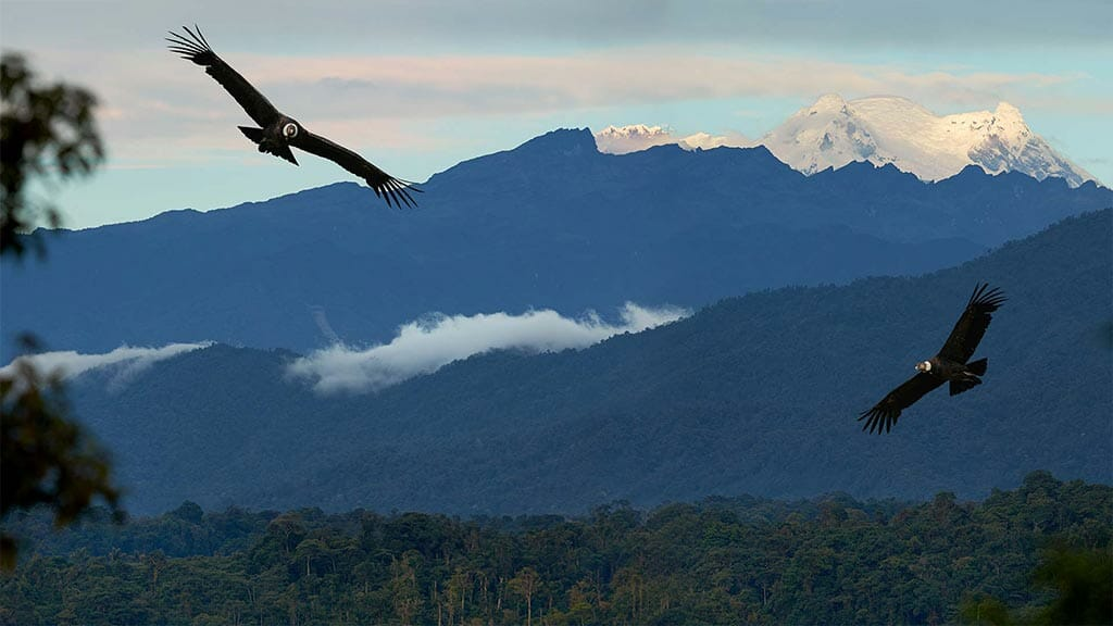 two andean condors fly with antisana volcano backdrop in ecuador