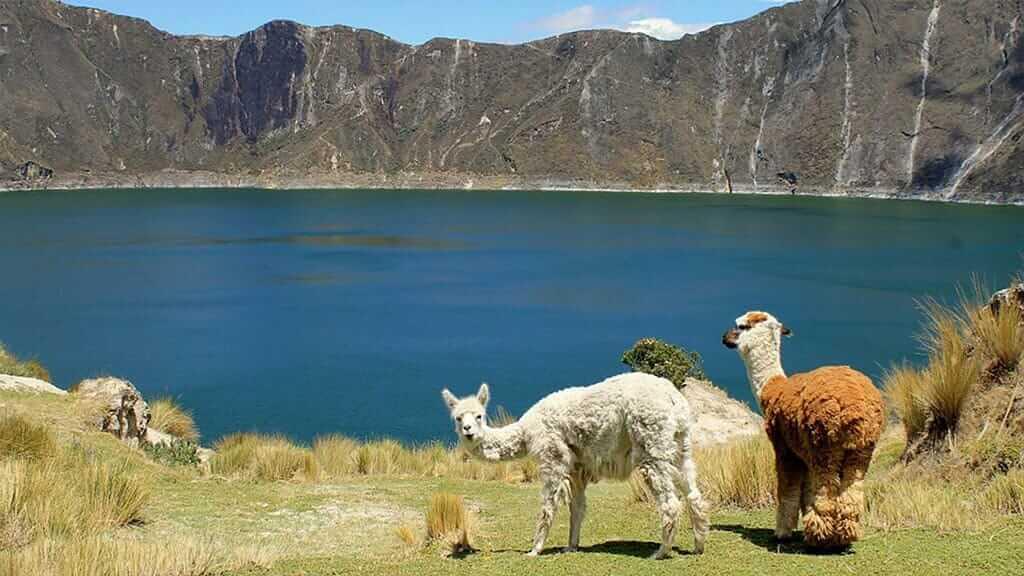quilotoa crater lake ecuador with alpacas